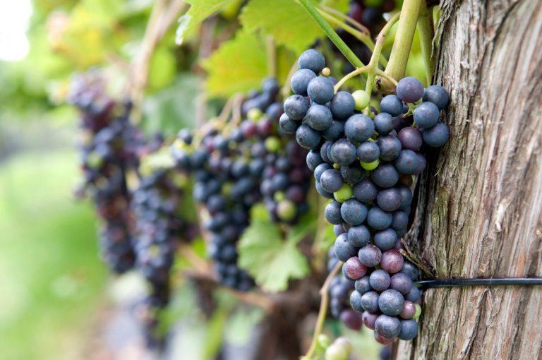 Le vigneron sachant vendanger… sait planifier avant de déguster