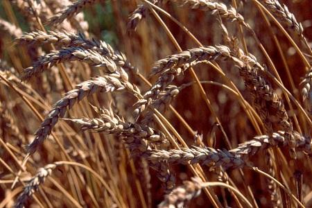 À la recherche d'un producteur de blé panifiable biologique