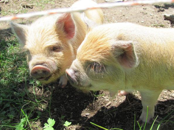 Troupeau de cochons Kune Kune à vendre